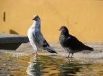 Pigeon Web - pigeon advice, breeds, feeding, care and racing
